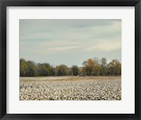 Framed Cotton Field In Autumn