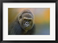 Framed Portrait Of A Gorilla