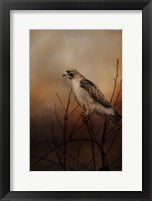 Framed Red Tail In Wait