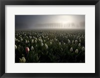 Framed Tulip field
