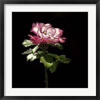 Framed Evening Rose