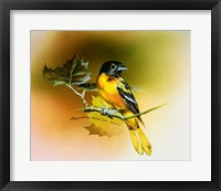 Framed Baltimore Oriole