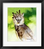 Framed Harpy Eagle