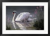 Framed Summer Idyll - Mute Swan
