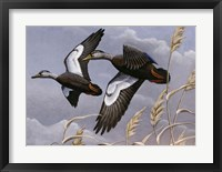 1982/1983 Black Ducks Framed Print