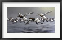 Framed Canvasbacks Coming In