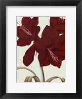 Amaryllis I Framed Print