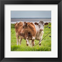 Framed Cows Grazing, Iceland
