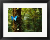 Framed Blue Morpho Butterfly, Costa Rica