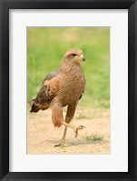 Framed Savanna Hawk, Pantanal Wetlands, Brazil