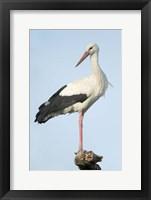 Framed White Stork, Ndutu, Ngorongoro Conservation Area, Tanzania