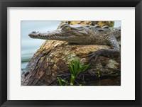 Framed American Crocodile, Tortuguero, Costa Rica