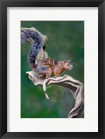 Framed Variegated Squirrel, Sarapiqui, Costa Rica