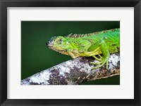 Framed Green Iguana, Tarcoles River, Costa Rica