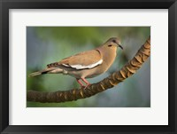 Framed White-Winged Dove, Tarcoles River, Costa Rica