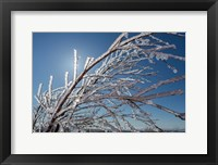 Framed Ice Crystals on tree branches, Iceland