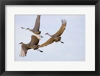 Framed Sandhill Cranes In Flight