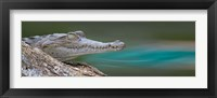 Framed American Crocodile, Costa Rica