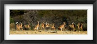 Framed Black-Faced Impala, Etosha National Park, Namibia