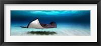 Framed Southern Stingray, Grand Cayman, Cayman Islands