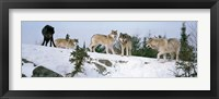 Framed Gray wolves, Massey, Ontario, Canada