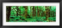 Framed Rain Forest, Olympic National Park, Washington State