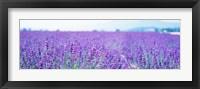 Framed Lavender Field in Japan