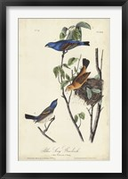 Blue Song Grosbeak Framed Print