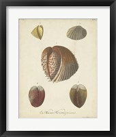 Antique Knorr Shells II Framed Print