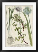 Framed Allium
