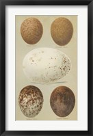 Framed Antique Bird Egg Study III