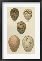 Framed Antique Bird Egg Study IV