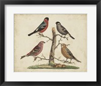 Bull Finches Framed Print