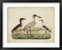 Framed Avocet & Boat-Billed Heron