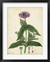 Framed Antique Zinnia