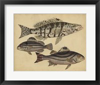 Framed Species of Fish I
