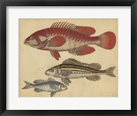 Framed Species of Fish II