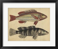 Species of Fish III Framed Print