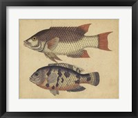 Framed Species of Fish IV