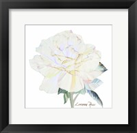 Peace Rose 1 Framed Print