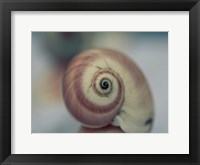 Moon Snail 1 Framed Print