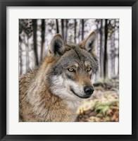 Framed Wolf 1