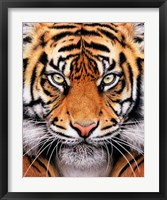 Framed Tiger Face