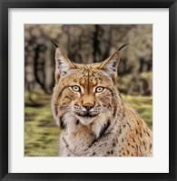 Framed Lynx