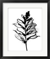 Framed Foxglove X-Ray