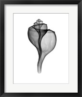 Giant (Channel) Whelk  X-Ray Framed Print