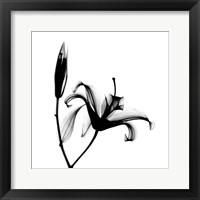 Lily  + Bud X-Ray Framed Print