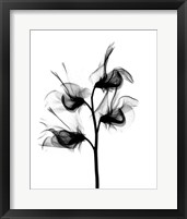 Framed Sweet Pea X-Ray