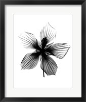 Framed Hibiscus, Texas Star X-Ray