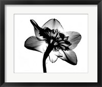 Framed Jonquil X-Ray